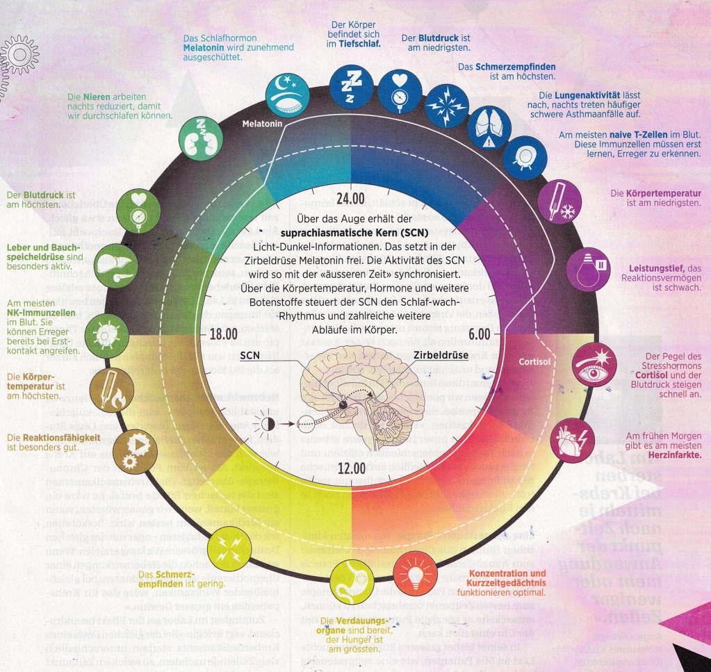 Die innere Organuhr in der Schulmedizin